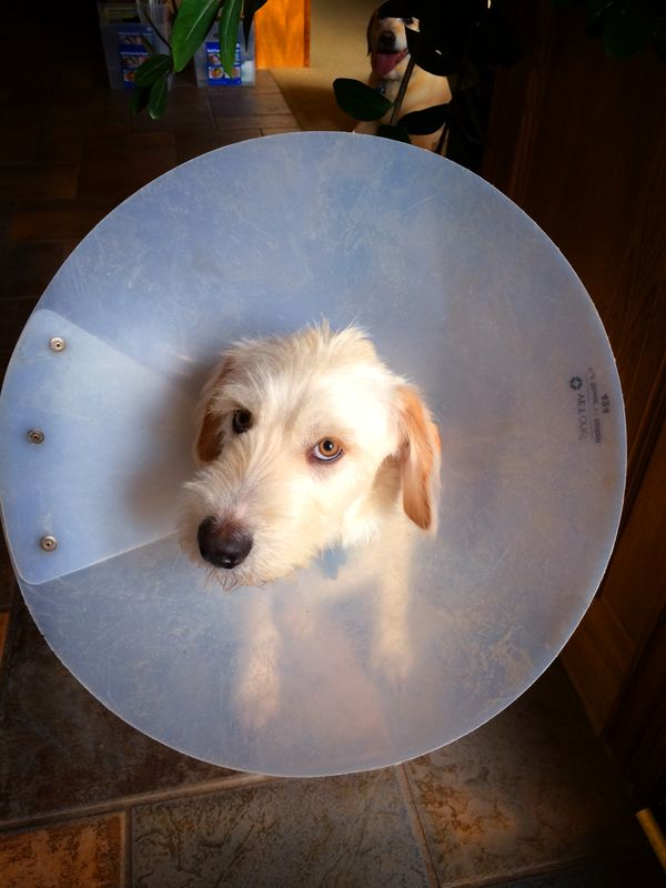 131214 Cone of Shame No Match for Barley
