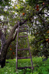 Orange tree and ladder