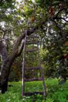 Orange tree and ladder